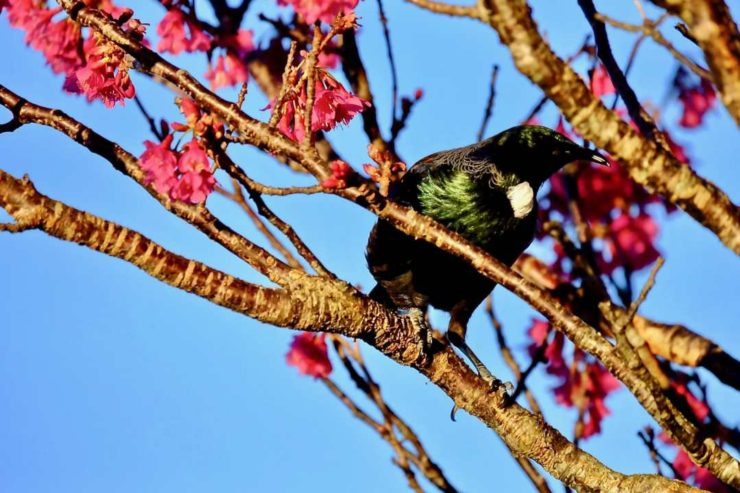 Joanna Hopkins Afternoon Sun Reveals the Tui's True Colours